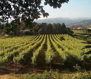 Üppig grüne Vegetation – Heimat des Vinho Verde